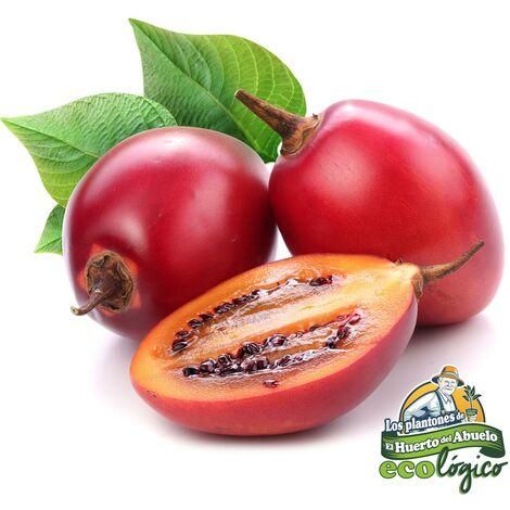 Maceta Tamarillo (Tomate Árbol) 10,5 cm. Pack 3 uds. Gama Tradicional