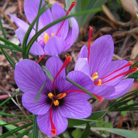 OFFERTA 100 BULBI DI CROCUS SATIVUS ZAFFERANO Calibro 8/9 croco coltivazione