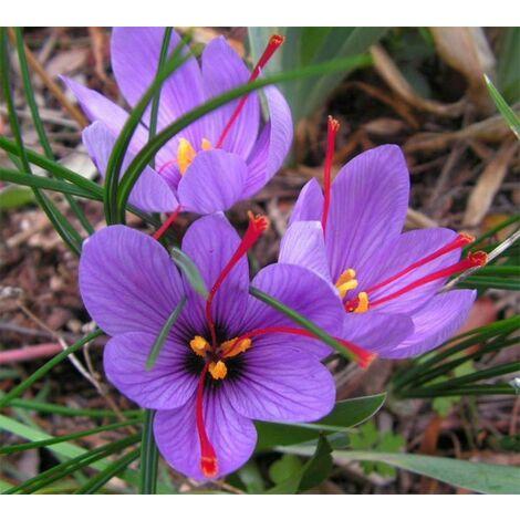 OFFERTA 200 BULBI DI CROCUS SATIVUS ZAFFERANO Calibro 8/9 croco coltivazione