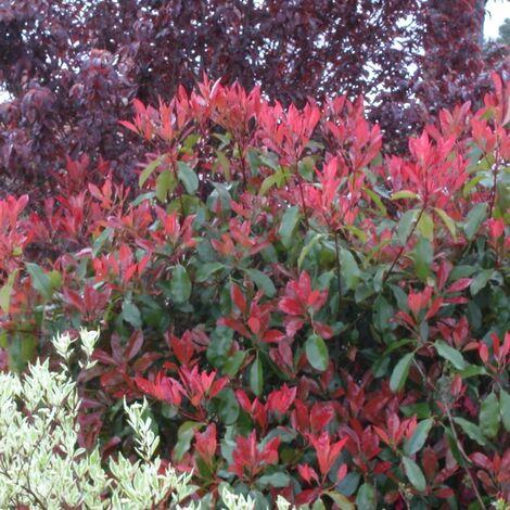 Photinia x fraseri Red Robin