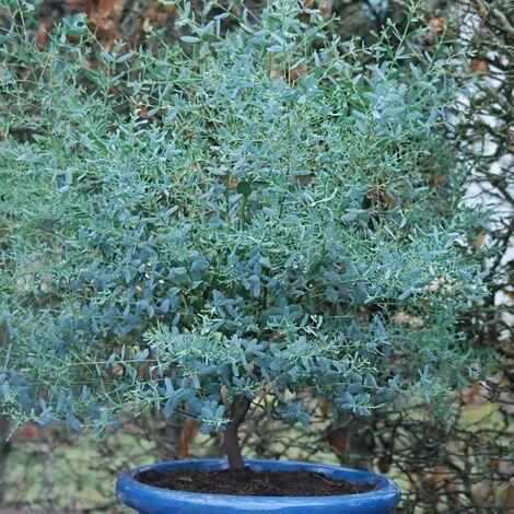 Eucalyptus gunni France Bleu® 'Rengun'