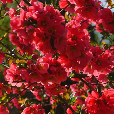 Cognassier du Japon speciosa Rubra Grandiflora
