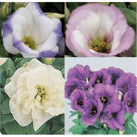 Flower - Lisianthus Sapphire Mixed