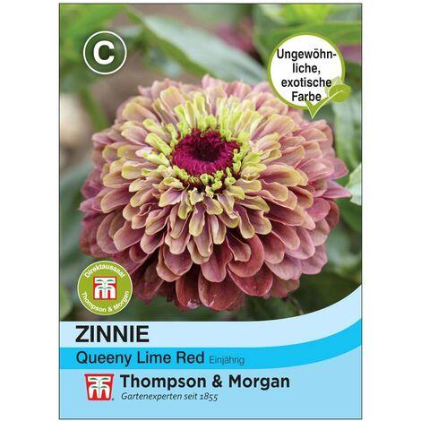 """Zinnie """"Queeny Lime Red"""" (Zinnia elegans), exotische Farben, sonnige Lagen bevorzugt"""