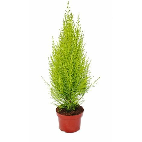 "Chambre Cyprès - Cupressus macrocarpa ""Goldcrest Wilma"" - Pot 13cm"