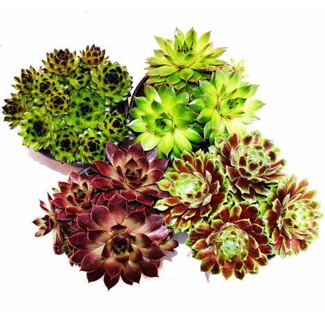 Houseleek - ensemble de 4 différents types de Sempervivum