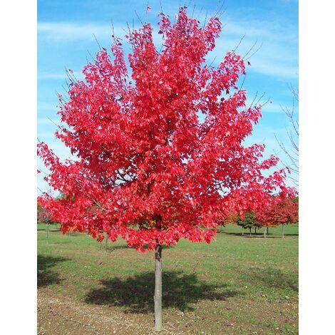 "Acero Rosso ""Acer rubrum"" Acero Scarlatto in vaso h. 100/120 cm"