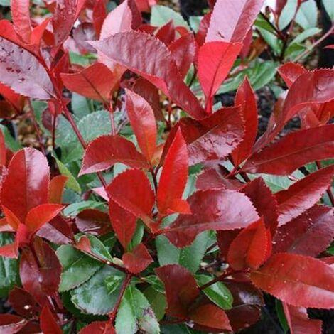 Pianta di Photinia Red Robin Fotinia