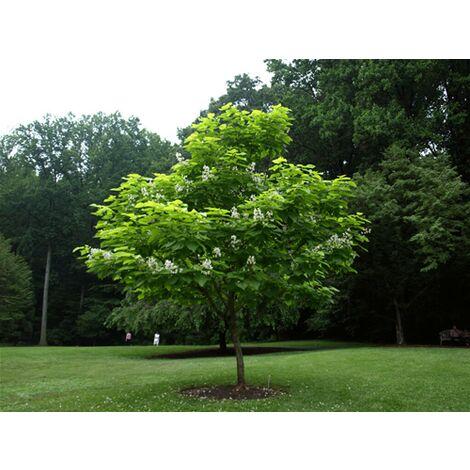 Pianta adulta di Catalpa Bignonioides ( albero dei sigari ) h.110/150 cm