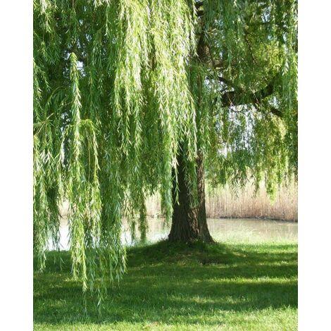 Salix babylonica pianta di salice piangente in vaso h. 100/150 cm