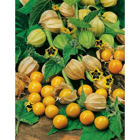 Coqueret du Pérou ou Physalis peruviana - 0,5 g - Les Légumes Anciens