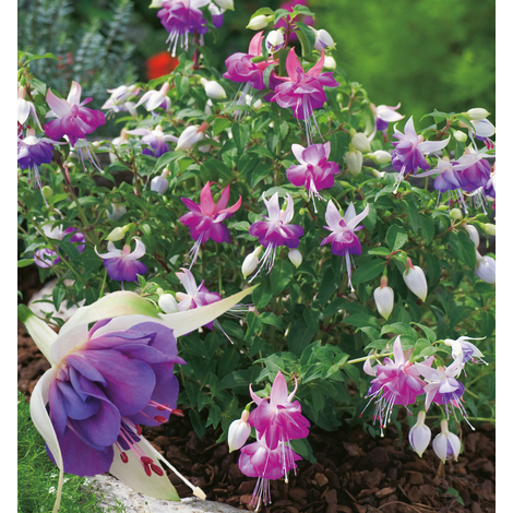 FUCHSIA BLUE SARAH - Lot de 3 godets : 15/20 cm - Arbustes d'ornement