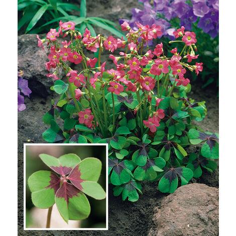 Oxalis Deppei ou Trèfle à 4 feuilles - lot de 20 bulbes en Mélange - BULBES DIVERS