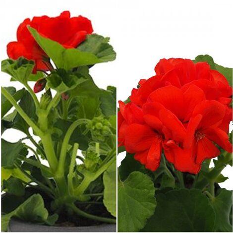 Planta Geranio Zonal Rojo. en Maceta de 13 Cm