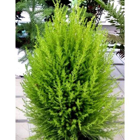 Planta Cipres Aroma Limón. Cupressus Macrocarpa. Goldcrest Wilma. 40 - 50 Cm