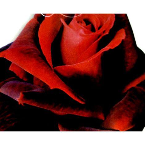 Planta Rosal Perla Negra. Rosa Rojo Oscuro. 40 - 50 Cm