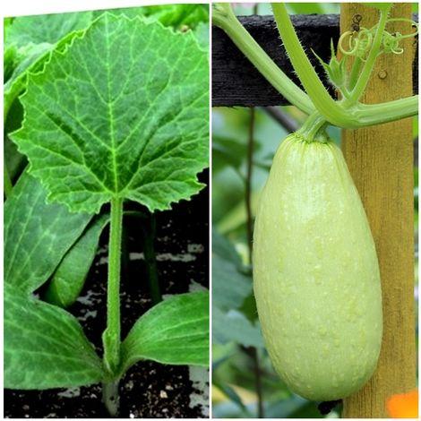 Pack de 6 Plantas de Calabacín Blanco. Plantel Huerto