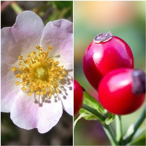 Pack de 4 Plantas de Rosa Canina. Rosal Silvestre. Rosa Mosqueta