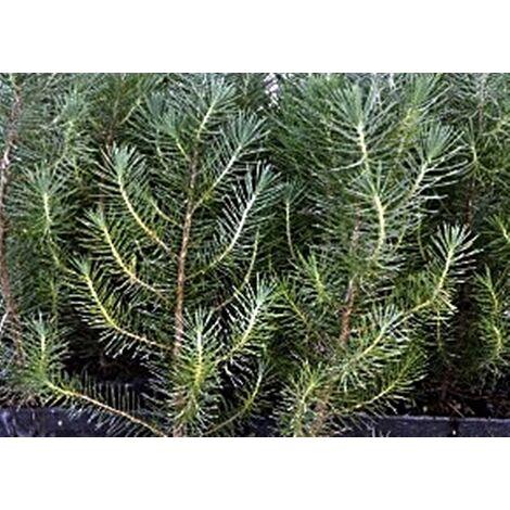 Planta 40 - 50 Cm. Pinus Pinea, Pino Piñonero