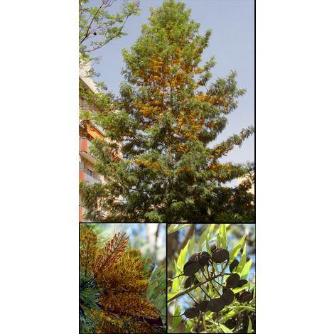 Planta Grevillea Robusta, Roble Australiano, Pino de Oro. 20 - 30 Cm