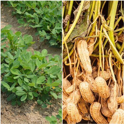 Semillas de Cacahuete, Mani. Arachis Hypogaea. 50 Gramos