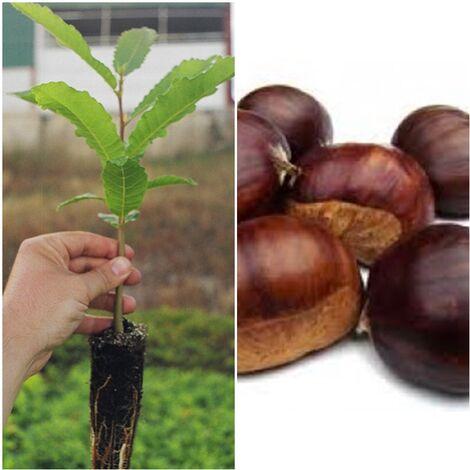 Planta. Castaño de Fruto Castaña, Castiñeiro, Castanea Sativa. 30 - 40 Cm