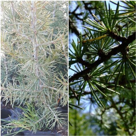 Planta Cedrus Atlantica - Cedro del Atlas. Altura Planta 15 - 20 Cm