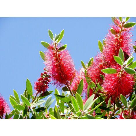 Planta de Callistemon Laevis. Altura: 40/50 Cms