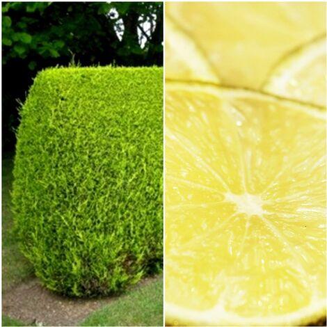 100 Plantas Setos Cupressus Macrocarpa. Ciprés Limón. 25 - 30 Cm