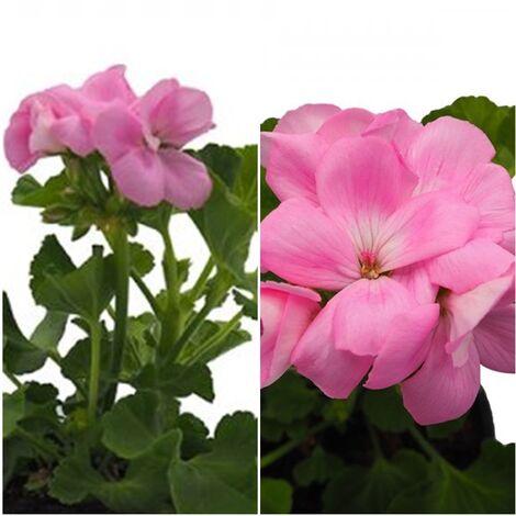 Planta Geranio Zonale Rosa. en Maceta de 13