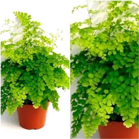 Planta Natural Helecho Adianthun en Maceta M12