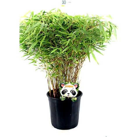 Planta Natural de Bambú Fargesia en Maceta M23