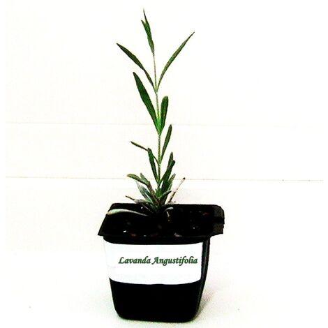 Planta Aromática de Lavanda Lavandula Angustifolia