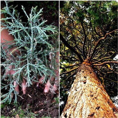Pack de 4 Plantas de Secuoya, Secoya. Sequoia Sempervirens