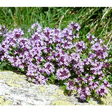 Pack de 4 Plantas de Tomillo Serpol Thymus Serpyllum