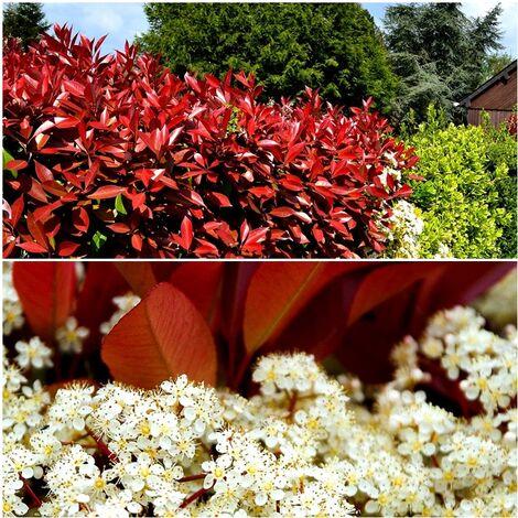 10 Plantas de Fotinea, Fotinia, Photinia Red Robin. 25 Cm