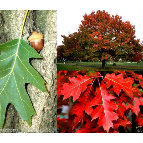 1 Planta. Roble americano, roble rojo, quercus rubra. De 20 a 30 Cm