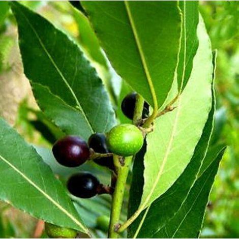 1 Planta de Laurel comestible, loureiro, laurus nobilis. 20 - 30 Cm