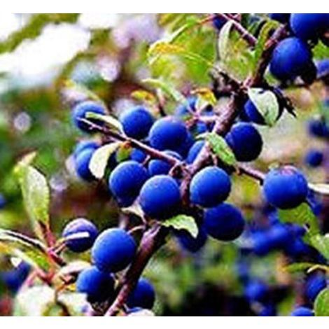 3 Plantas de Prunus Spinosa - Endrino. Altura 20 - 40 Cm