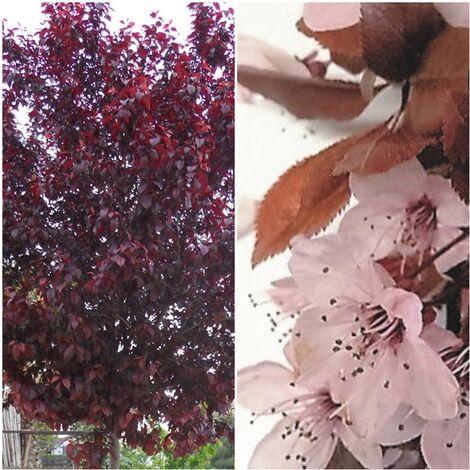 1 Arbol de Prunus Pissardii. Espectacular Floración. Altura: 140 Cms