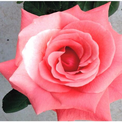 Planta de Rosal Queen Elisabeht Flor Rosa. Altura Planta 40 - 50 Cm