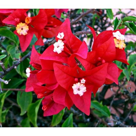 1 Planta Trepadora. Buganvilla. Bougainvillea. ROJA Flor de Papel. 120 Cm.