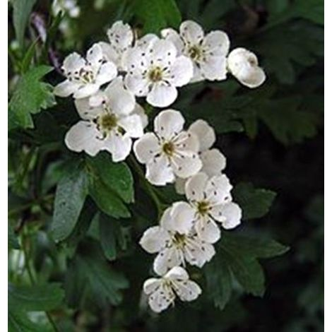1 Planta de Crataegus Monogyna - Majuelo, Espino Blanco