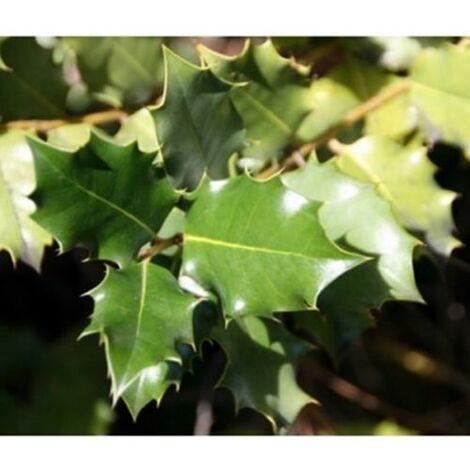 1 Planta de Quercus Coccifera – Coscoja