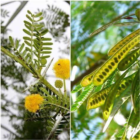 Planta de Acacia Karroo. Usado para Setos. Resiste la Sequia