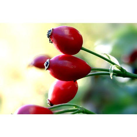 Planta de Rosa Canina Rosal Silvestre, Escaramujo, Rosa Mosqueta