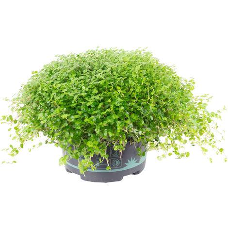 Bubikopf - Soleirolia soleirolii