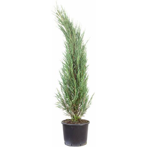 Raketenwacholder - Juniperus scopulorum 'Blue Arrow'