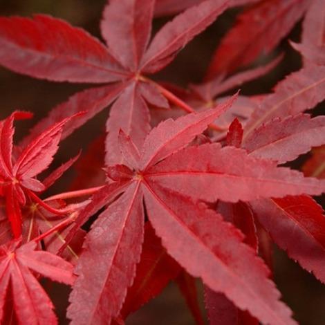 Acer palmatum var.atropurpurea - Arce japones palmeado - Contenedor de 5Litros - 40/60cm de altura – (To)
