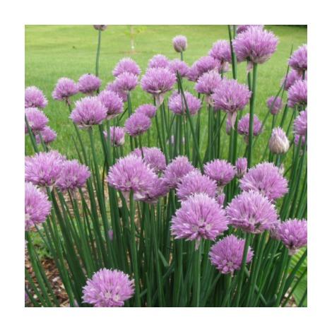 Allium schoenoprasum - Cebollino - Contenedor de 13cm - (Co)